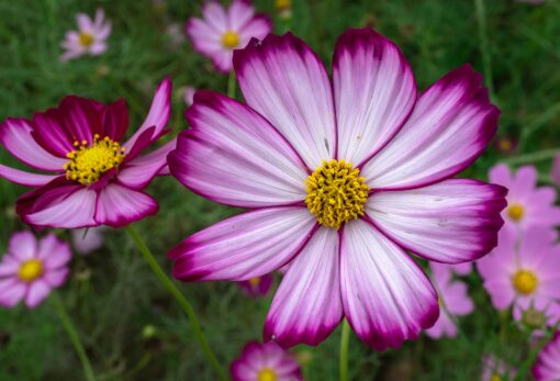 Cosmos mixed 50 seeds £0.90p easy-see 6ds.com