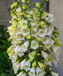Dwarf Foxglove Mixed Colours £ 0.99 for 200 Seeds