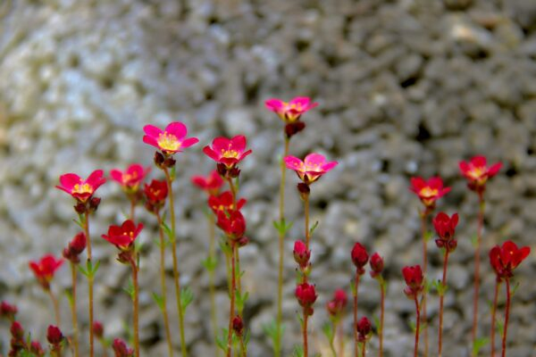 saxifrage red robe 100 seeds £0.99 easy-seeds.com