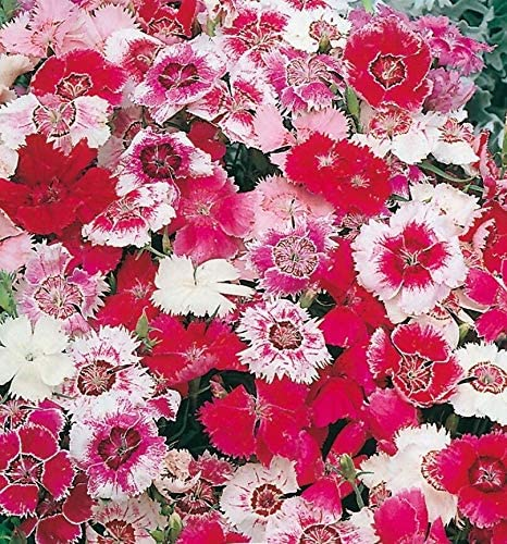 Dianthus Heddewigii Baby Doll Singles Mixed pinks and reds easy-seeds.com