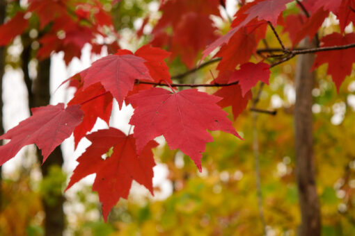 Acer rubrum Seed -Red maple ideal for bonsai Easy-seeds.com2