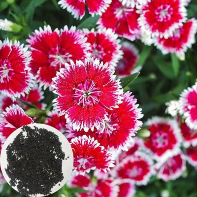 Dianthus Heddewigii Baby Doll White with Pink Centers 75 seeds £1.20