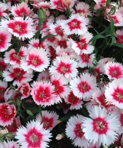 Dianthus Heddewigii Baby Doll Singles Mixed pinks and reds2