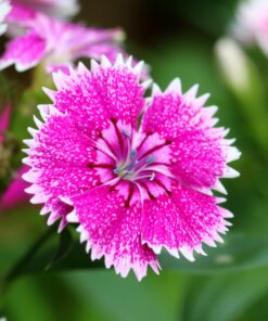 Dianthus Heddewigii Baby Doll Singles Mixed pinks and reds