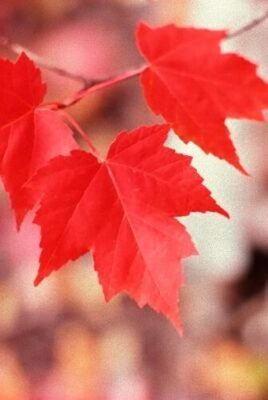 Acer rubrum Seed -Red maple ideal for bonsai Easy-seeds.com