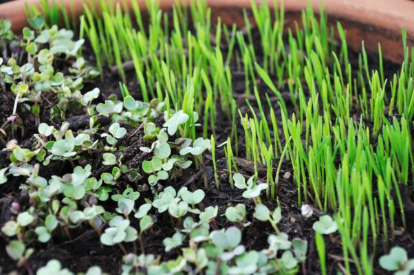Micro Greens for eating Food Grade