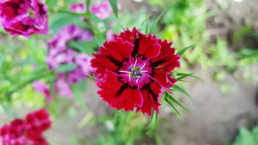 Dianthus Heddewigii Baby Doll Singles Mixed pinks and reds 1