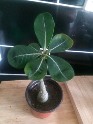How to Repot Your Desert Rose Video